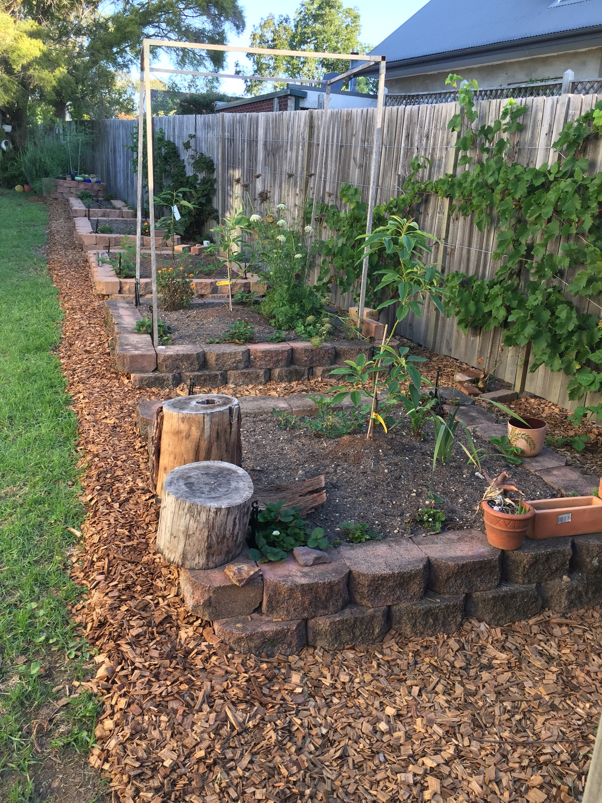 Raised veggie beds, the closest three have a young avocado tree each. Fuerte closest, Hass, then Sheppard. Behind the beds on the fence, I have a black muscat grape, a seedless sultana grape, thornless loganberry, thornless blackberry and passionfruit.